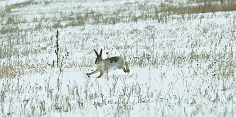 ловля зайца русака