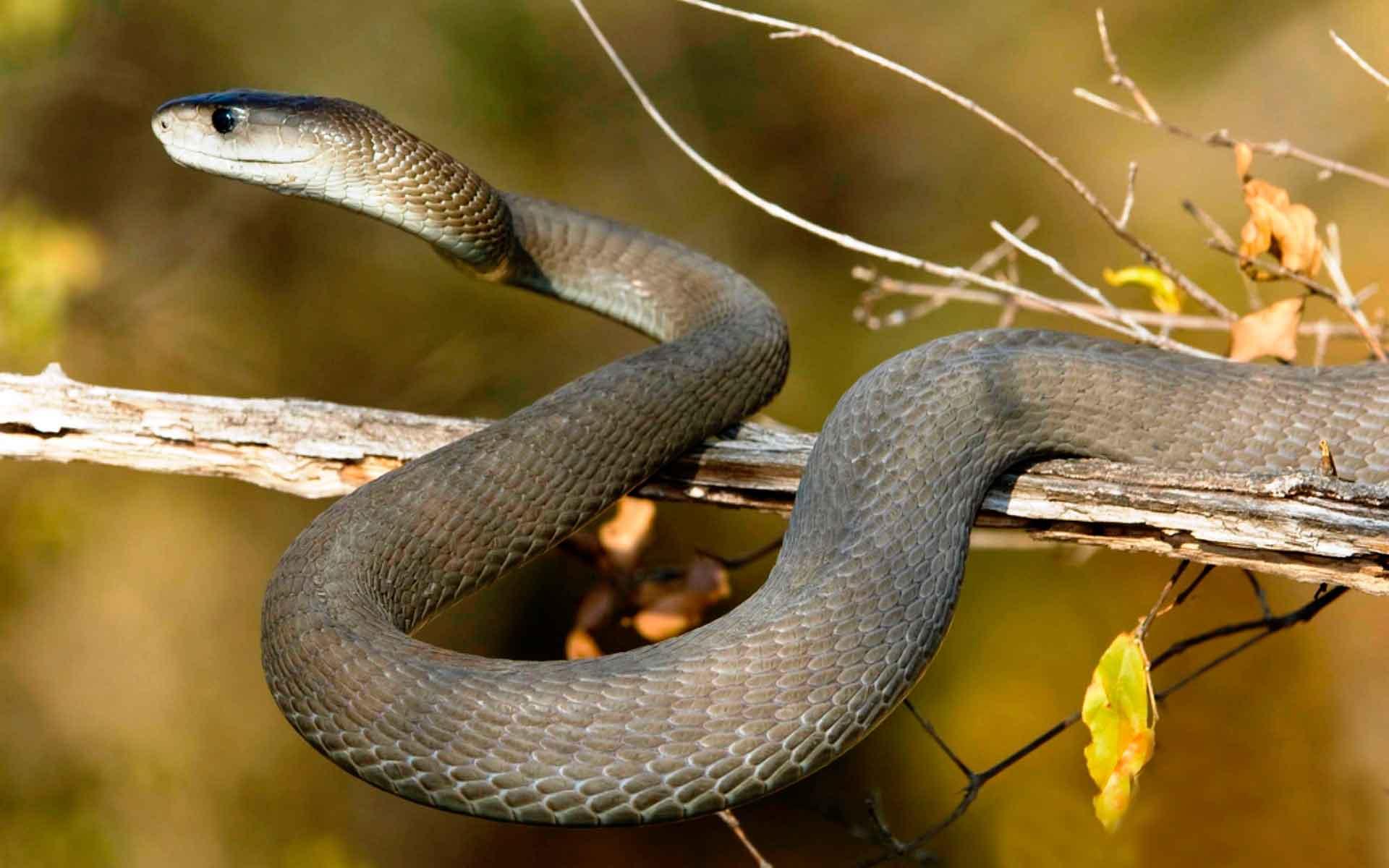 Смотреть мамба это змея