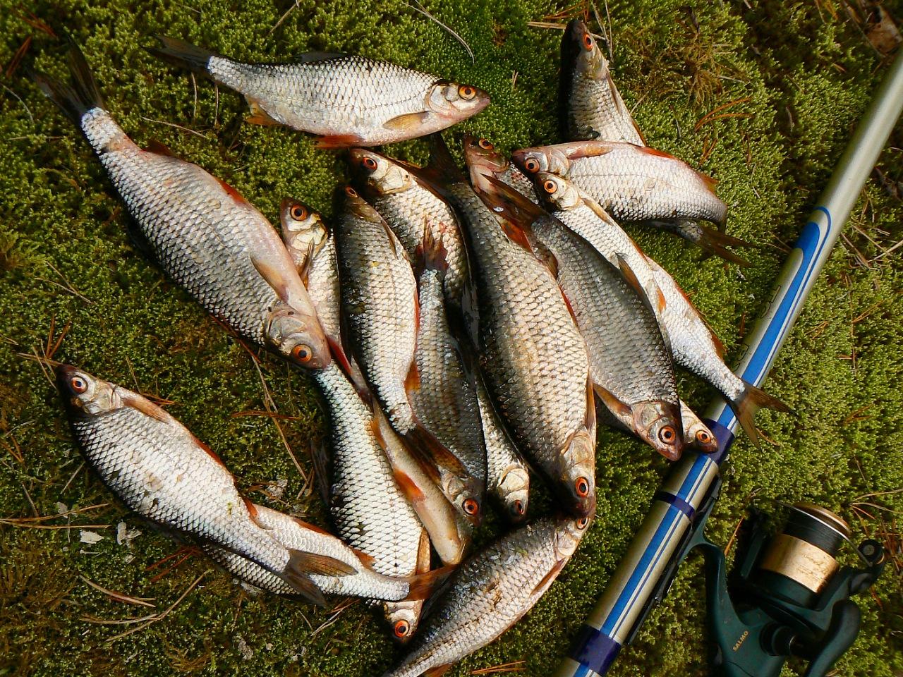 ловля плотвы на больших речках