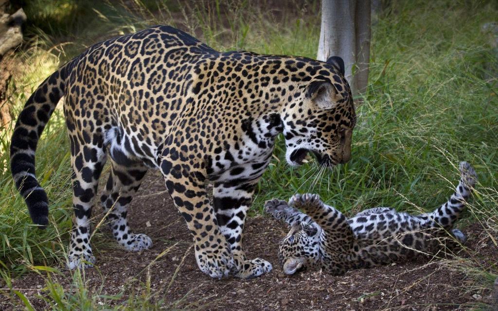 jaguar9