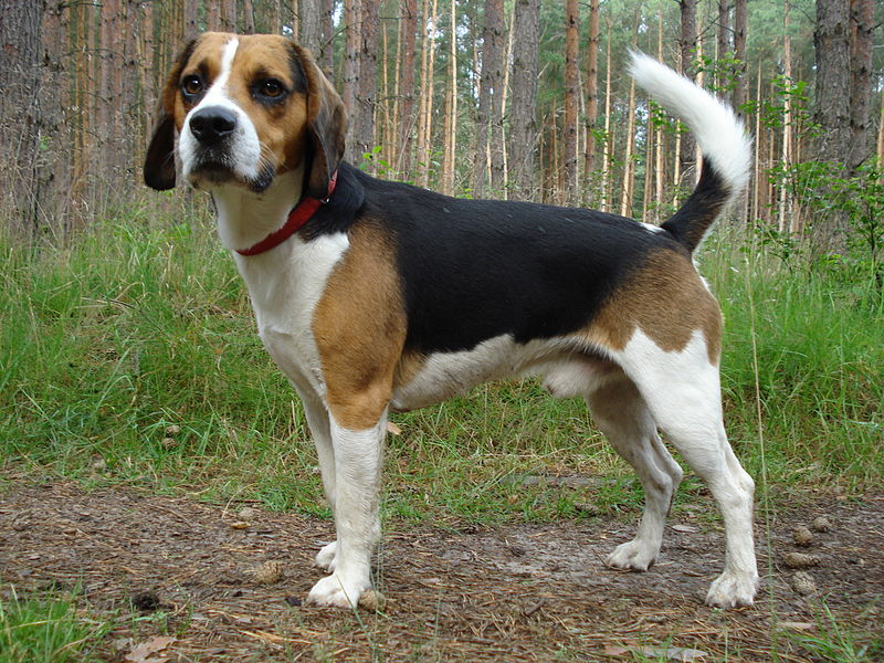 Beagle Harrier1
