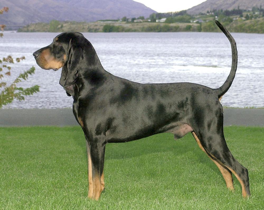 Coonhound4