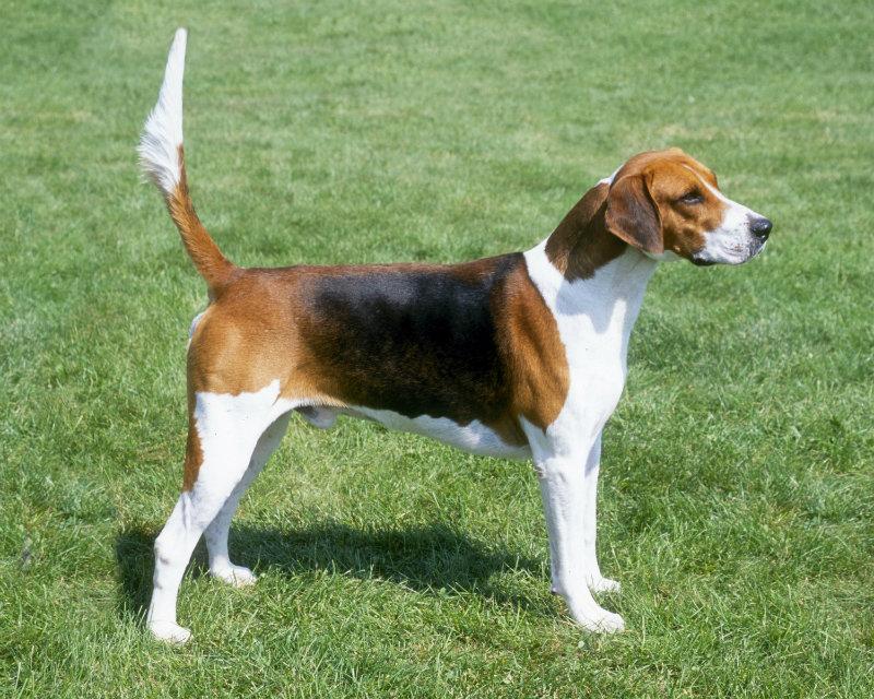 English Foxhound1
