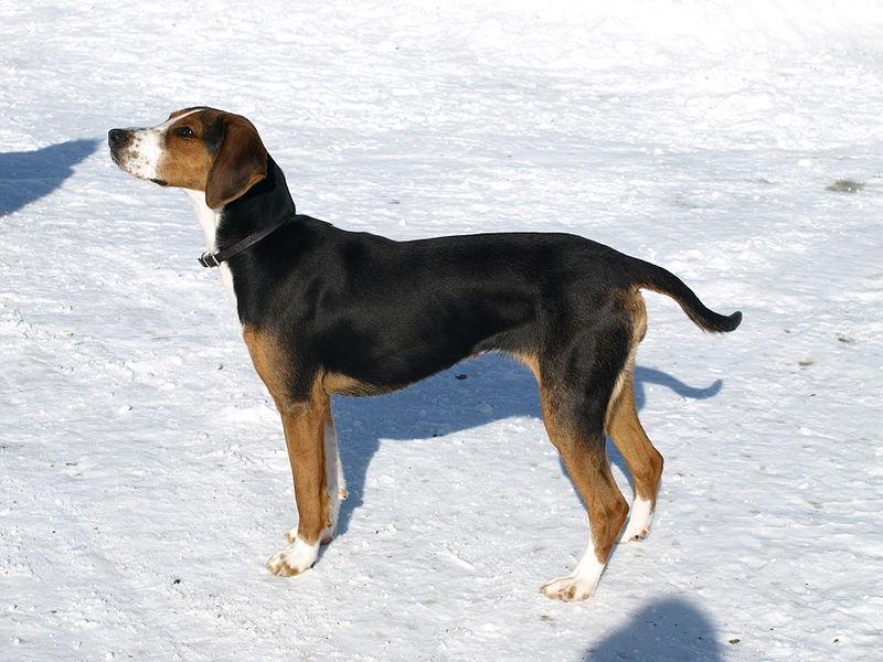 Finnish Hound1
