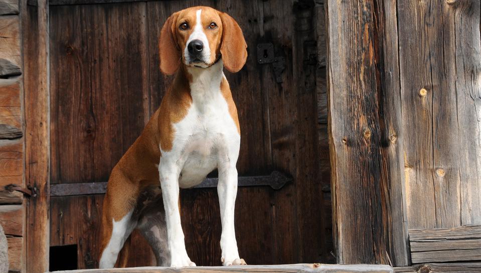hygenhund 1