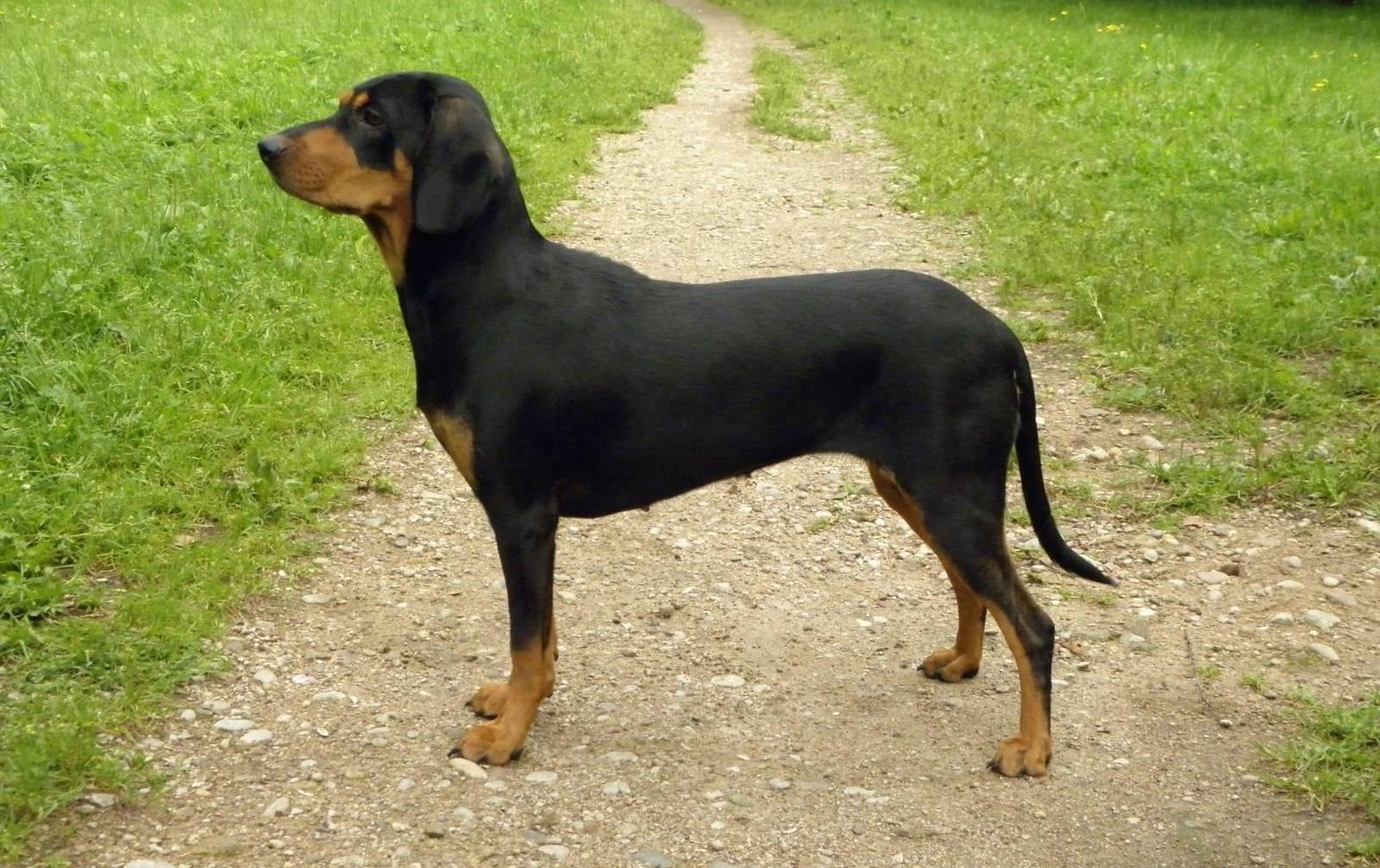 latvijskaya gonchaya1