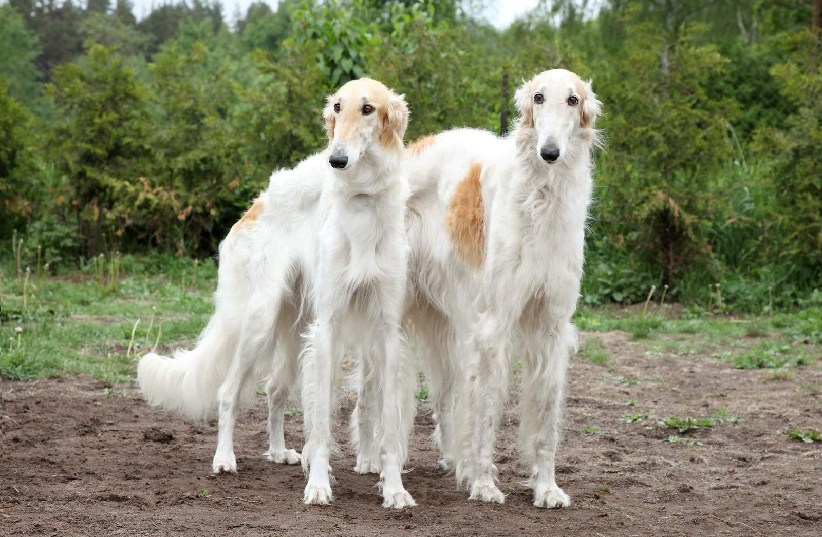 Borzoi Hounds