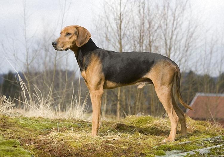 schiller hound