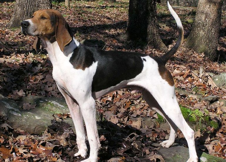 American Foxhound1