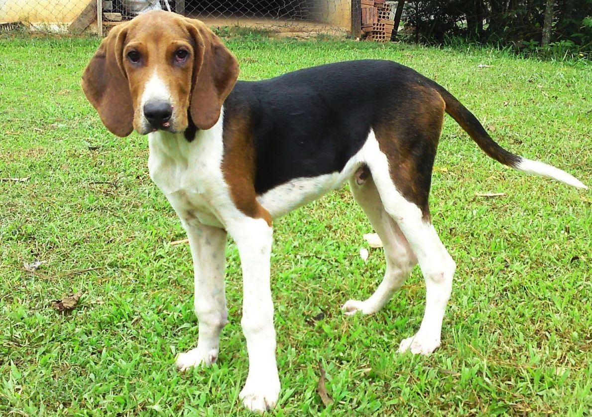American Foxhound3