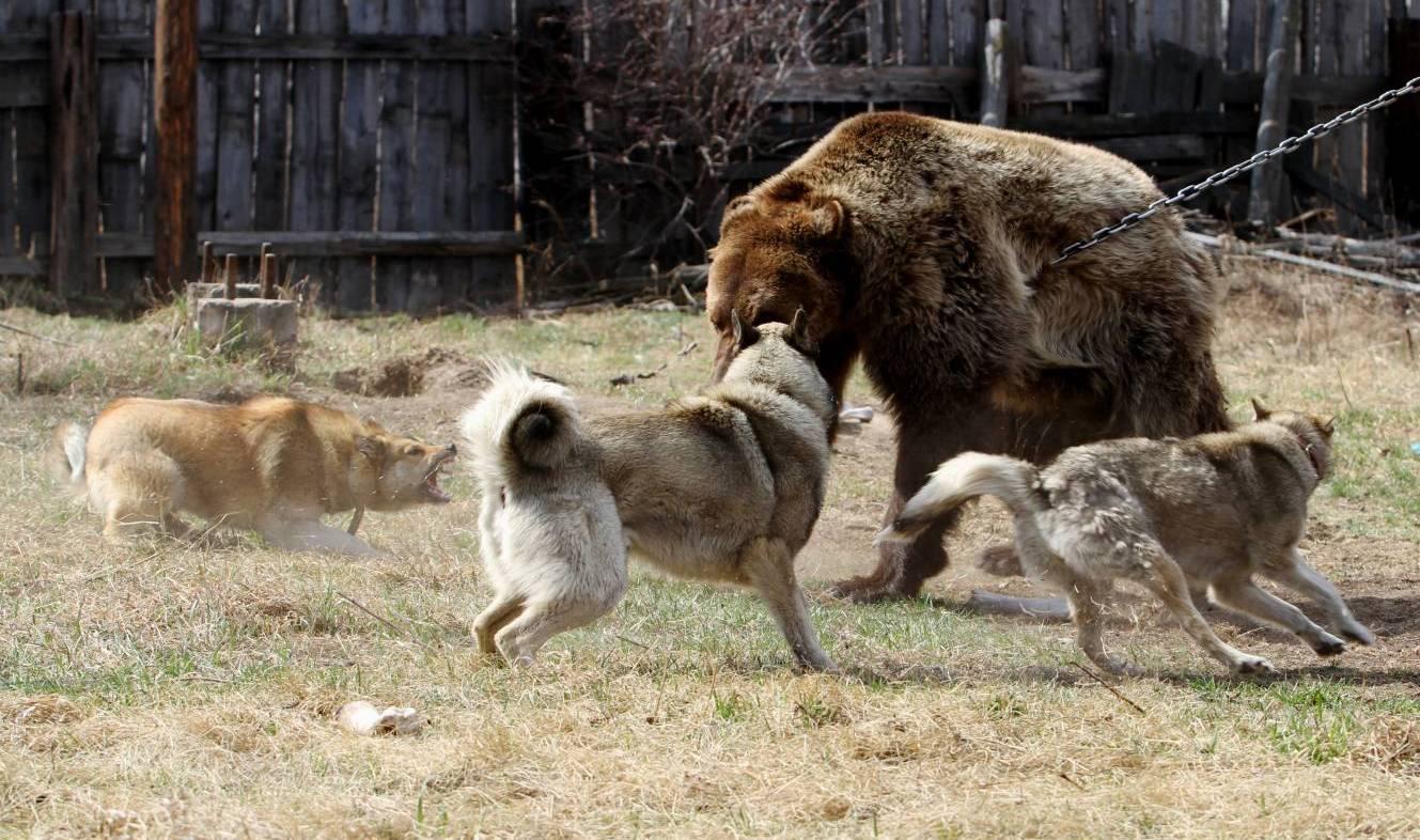 pritravka na medveda1