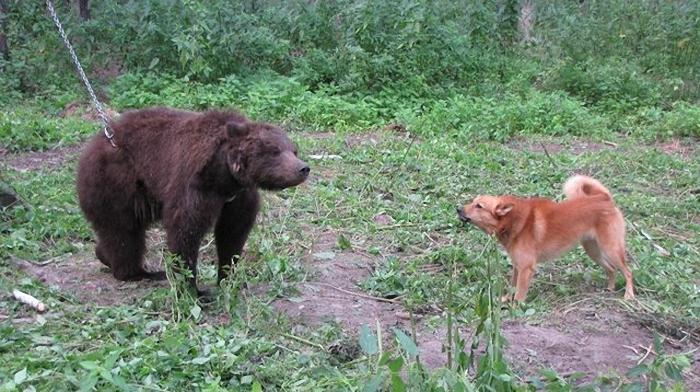 pritravka na medveda2