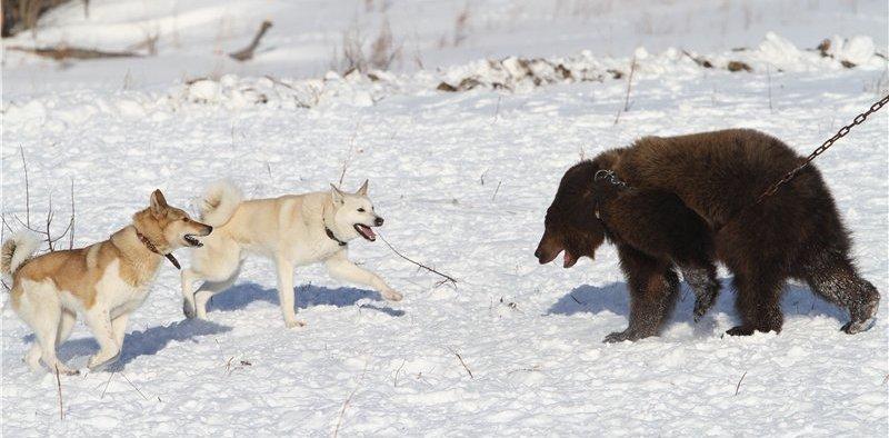 pritravka na medveda4