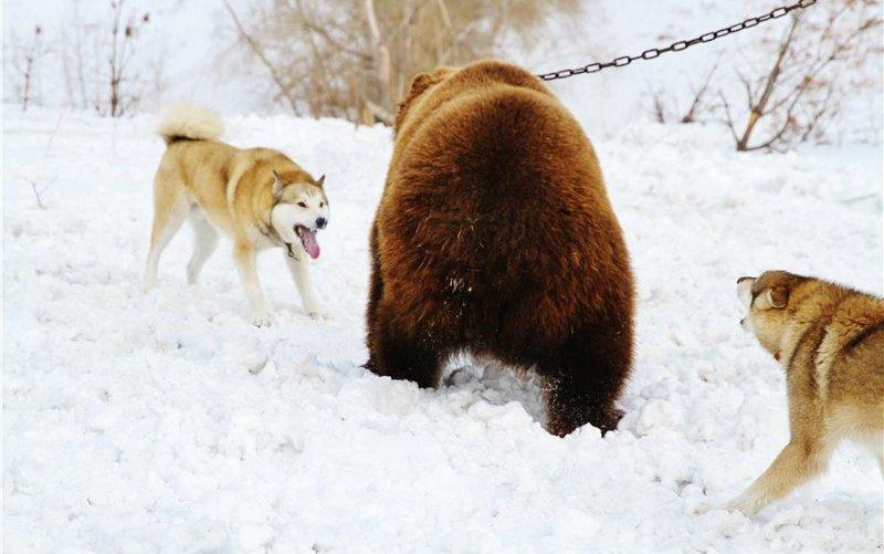 pritravka na medveda5