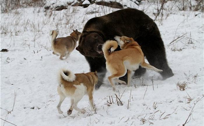 pritravka na medveda6