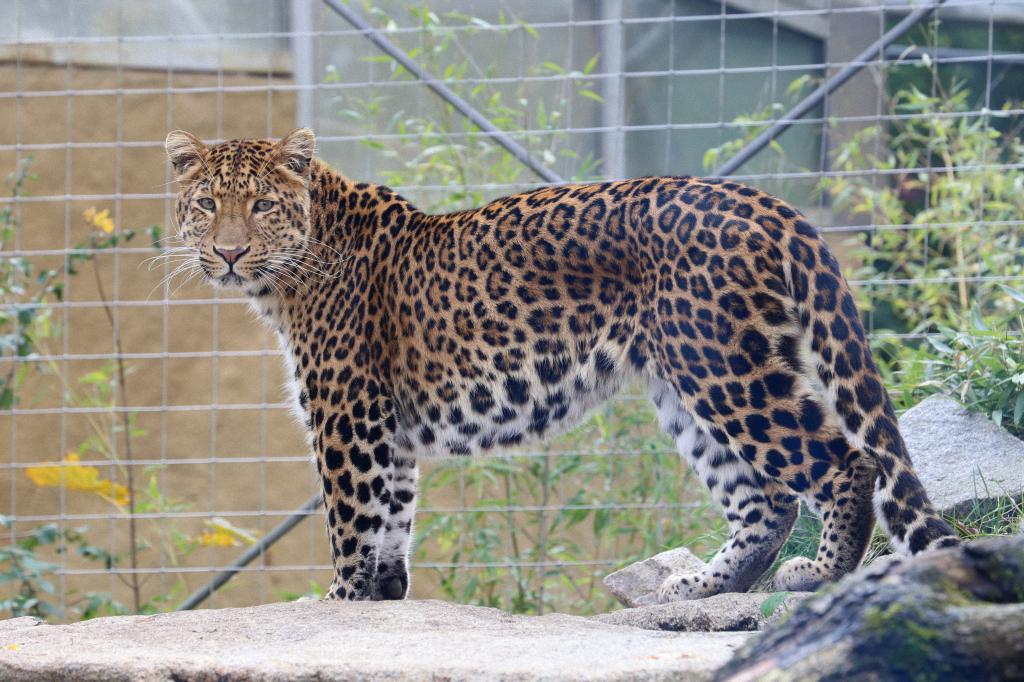 Chinesischer Leopard2