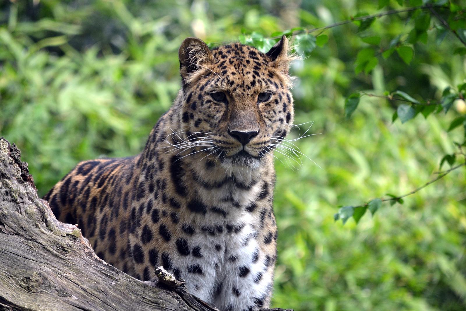 amurleopard11