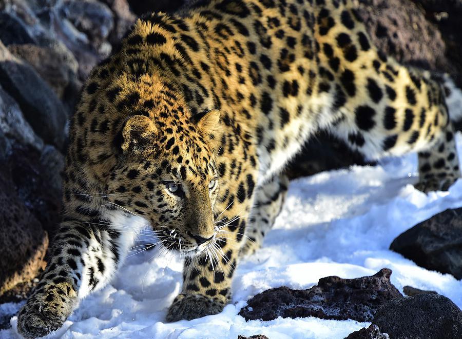 amurleopard12