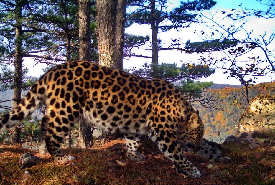 amurleopard13