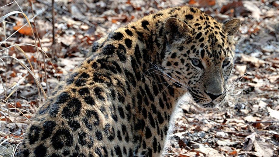 amurleopard14