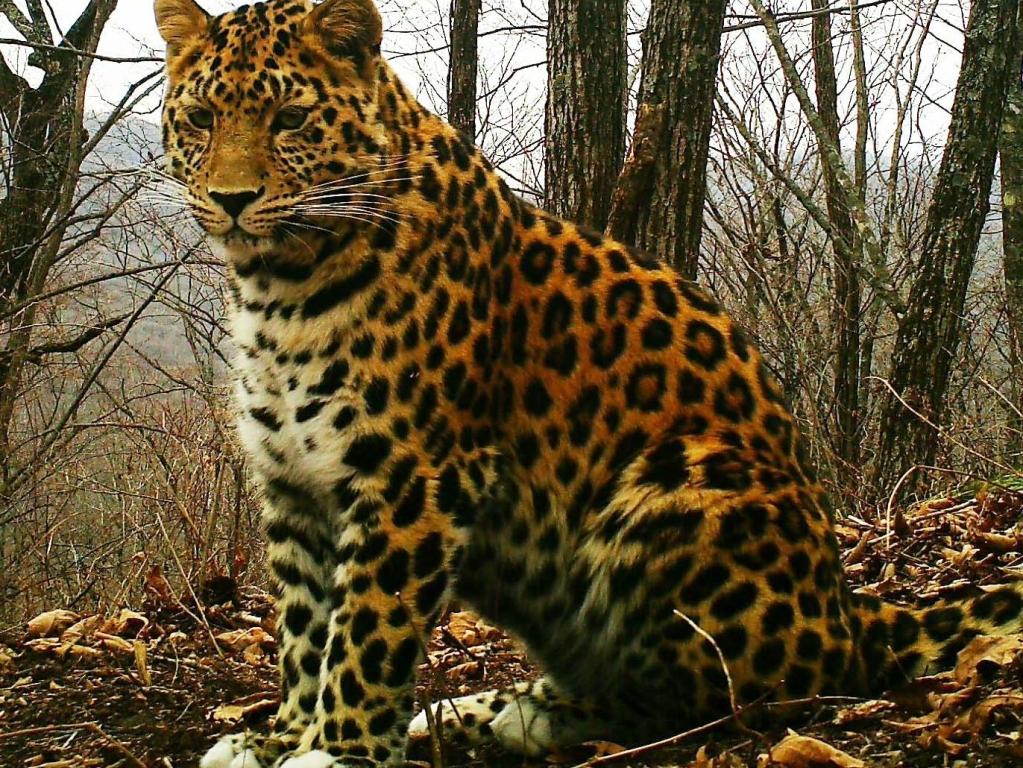 amurleopard15