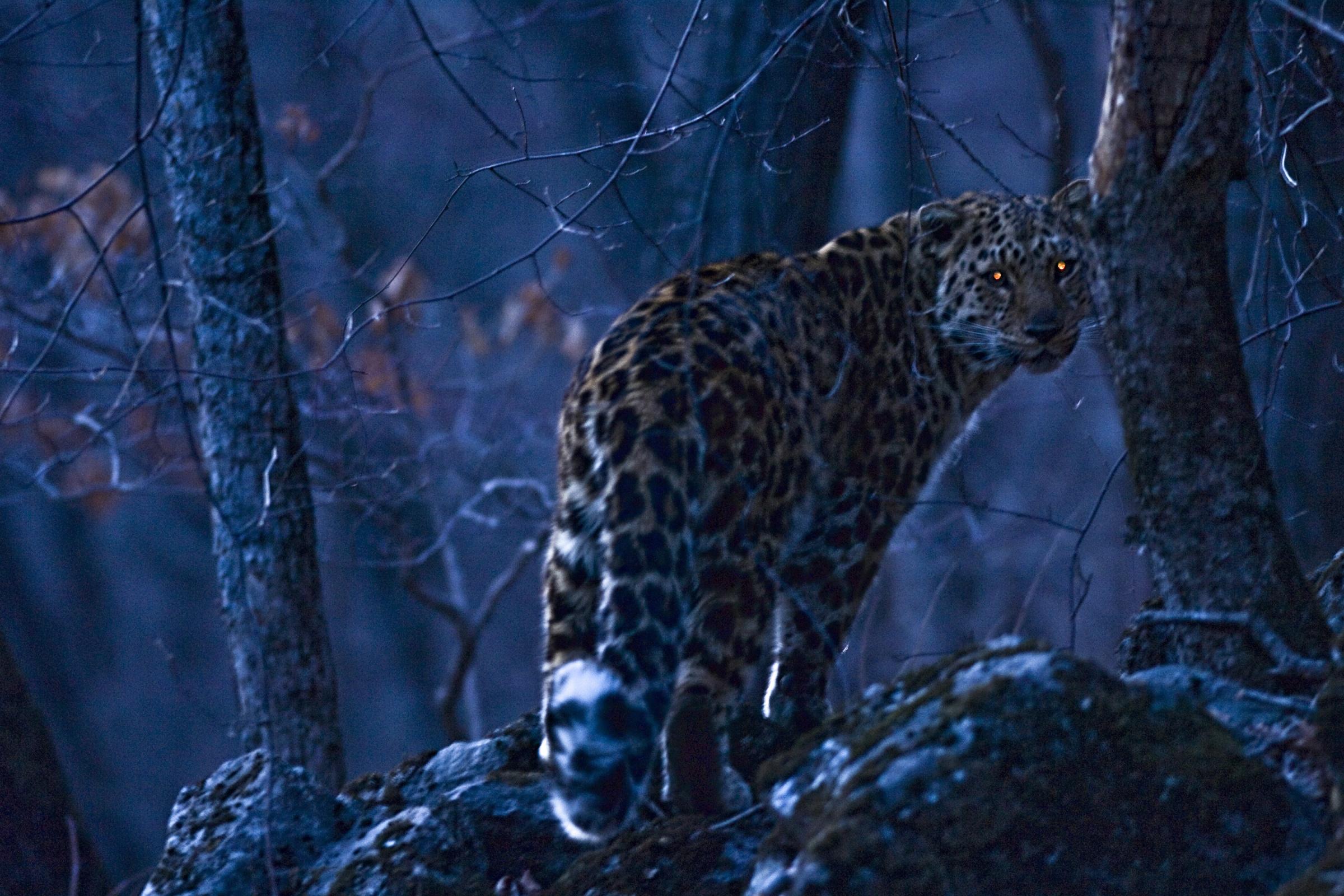 amurleopard16