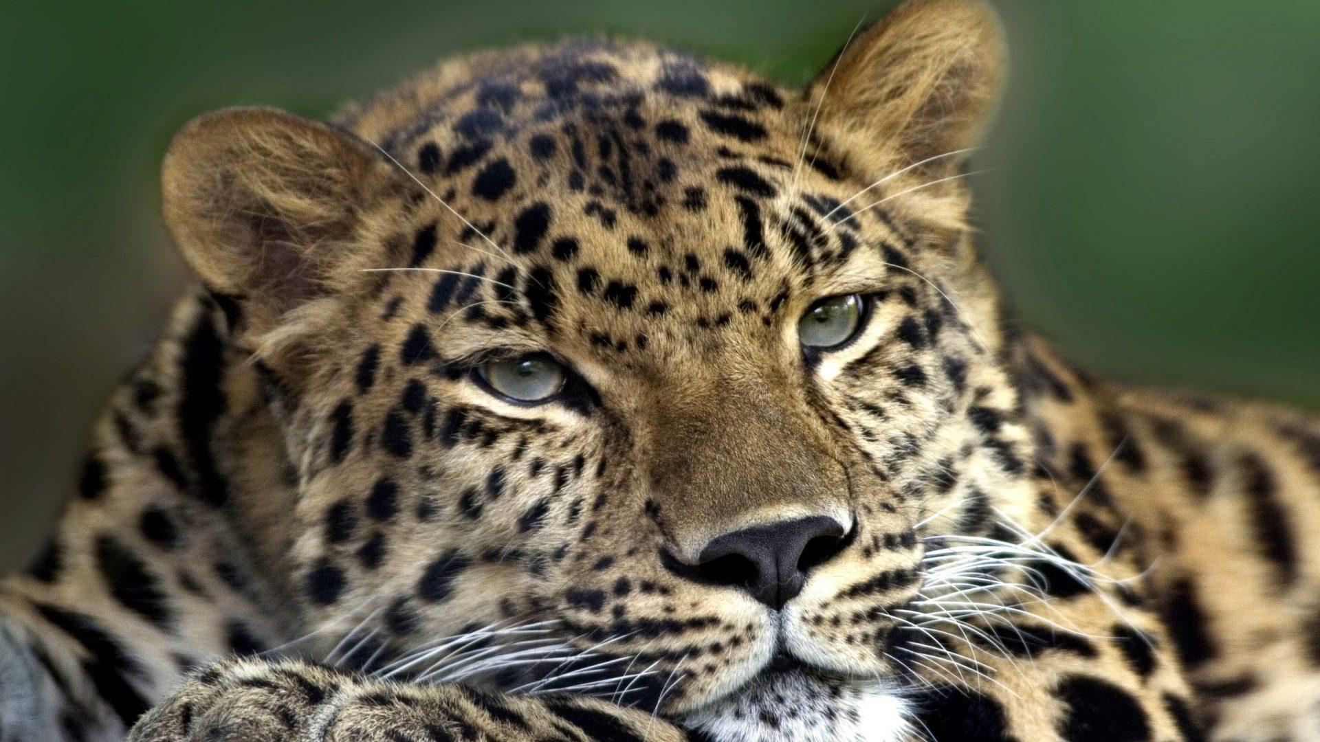 amurleopard177