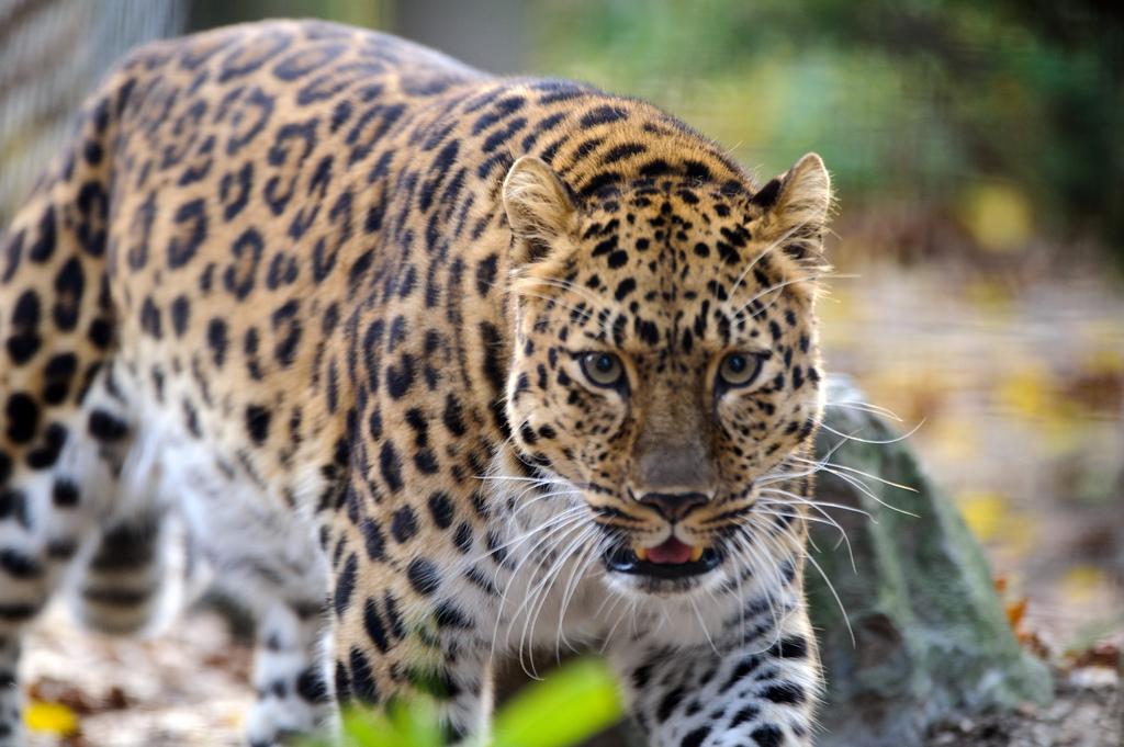 amurleopard19