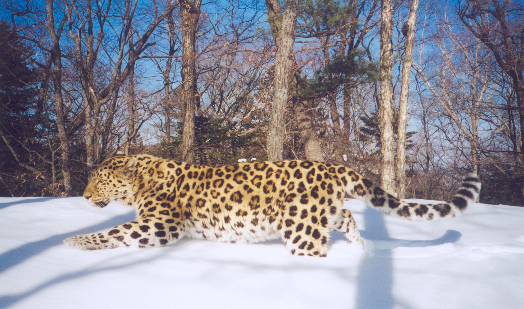 amurleopard2