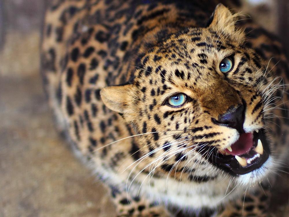amurleopard33