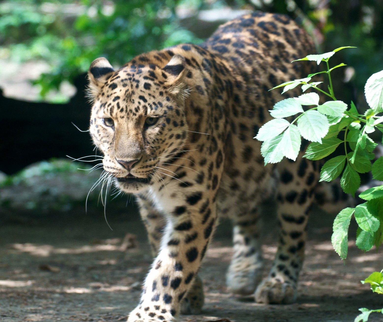 amurleopard8
