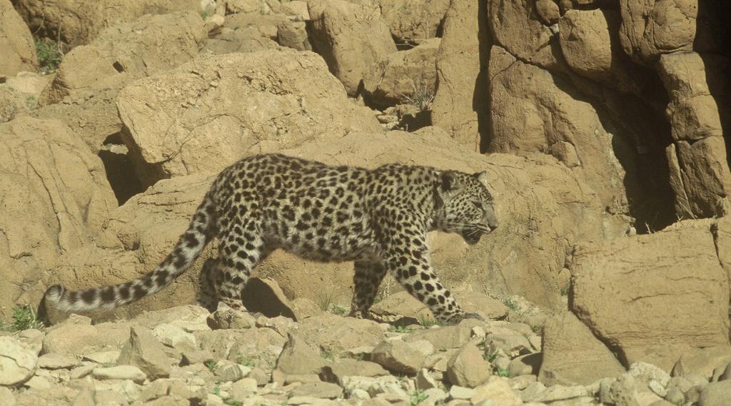 arabiran leopard