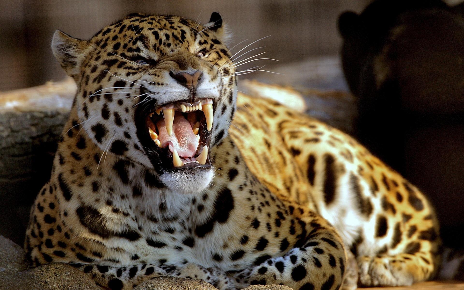 leopard21