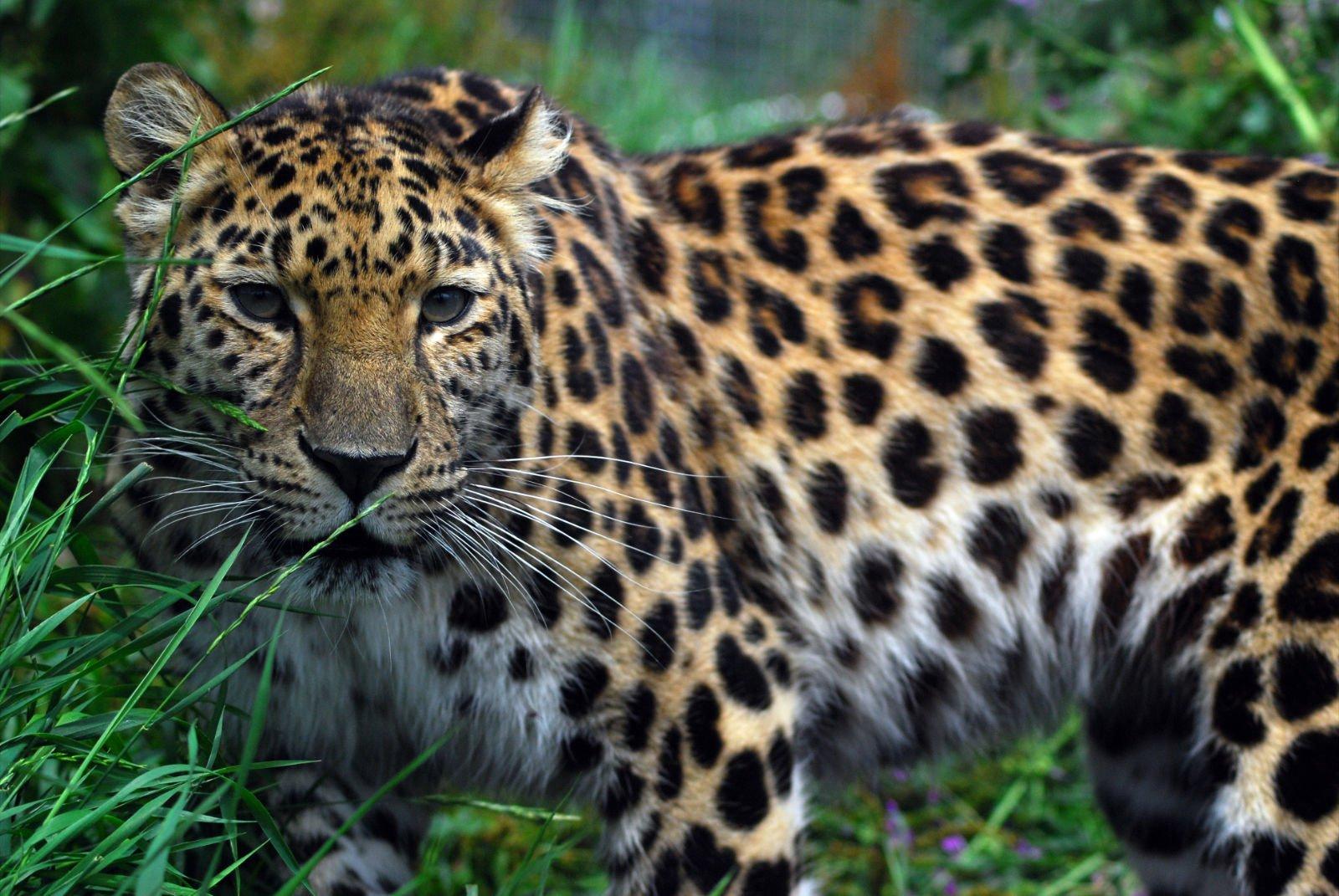 leopardind1