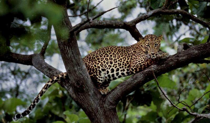 leopardind5