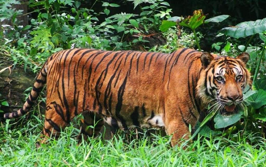 malajskij tigr1