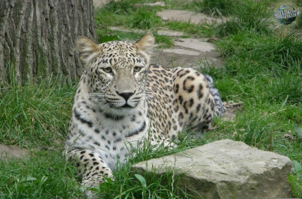 persidskiy leopard4