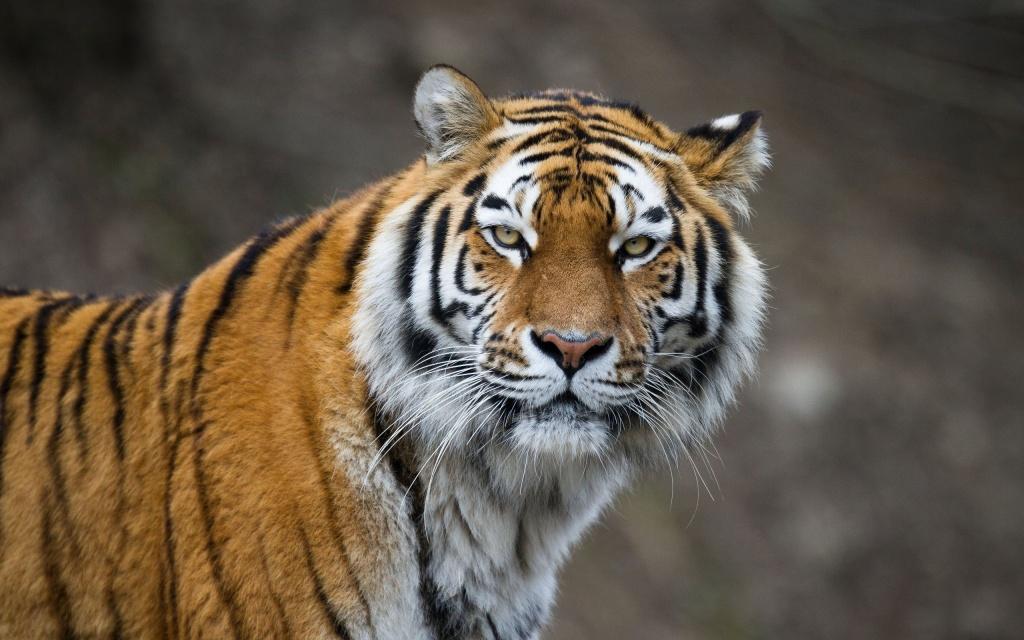 tigr hunt1