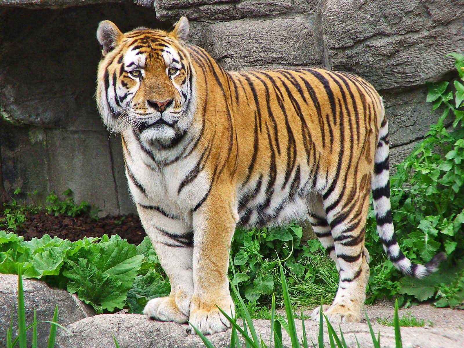 tigr hunt10