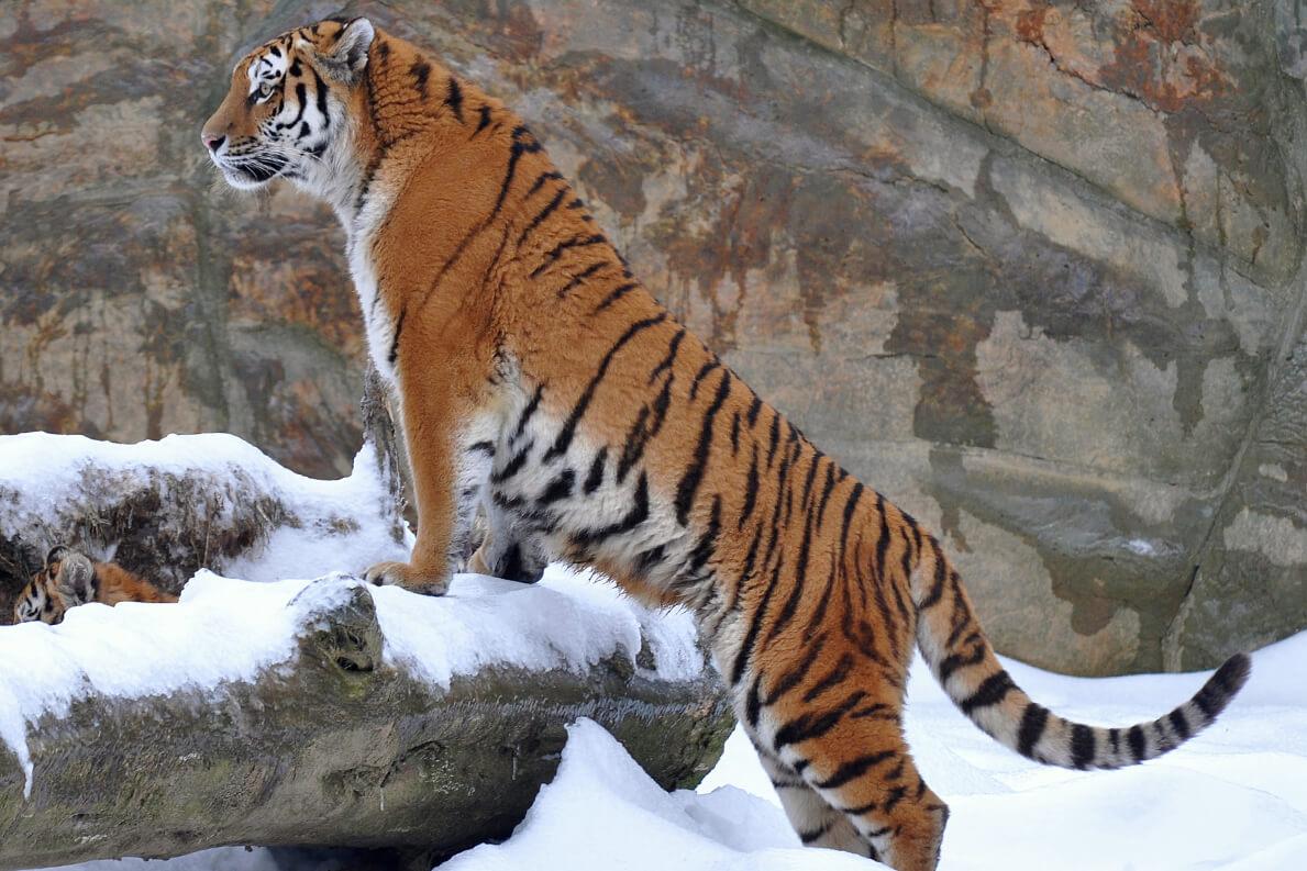 tigr hunt11