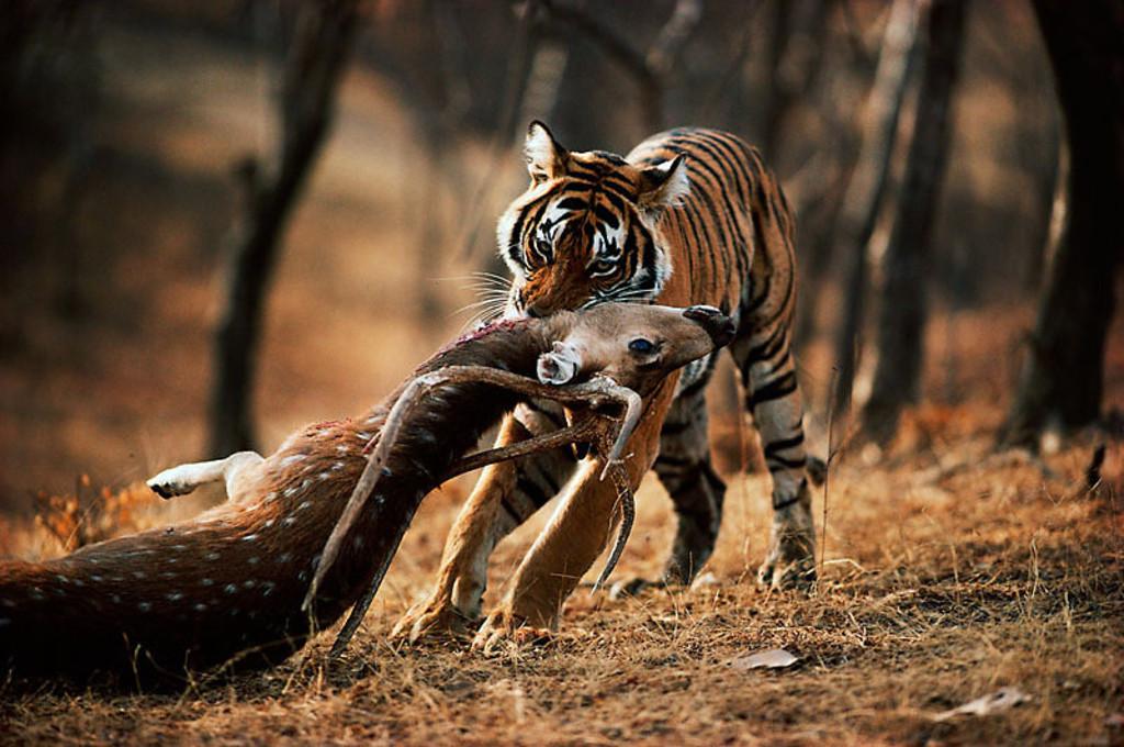 tigr hunt12