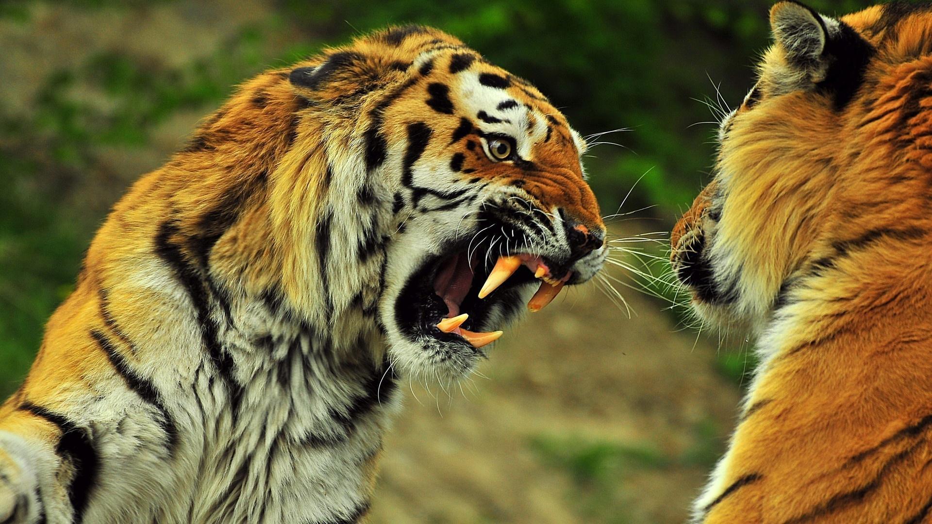 tigr hunt14