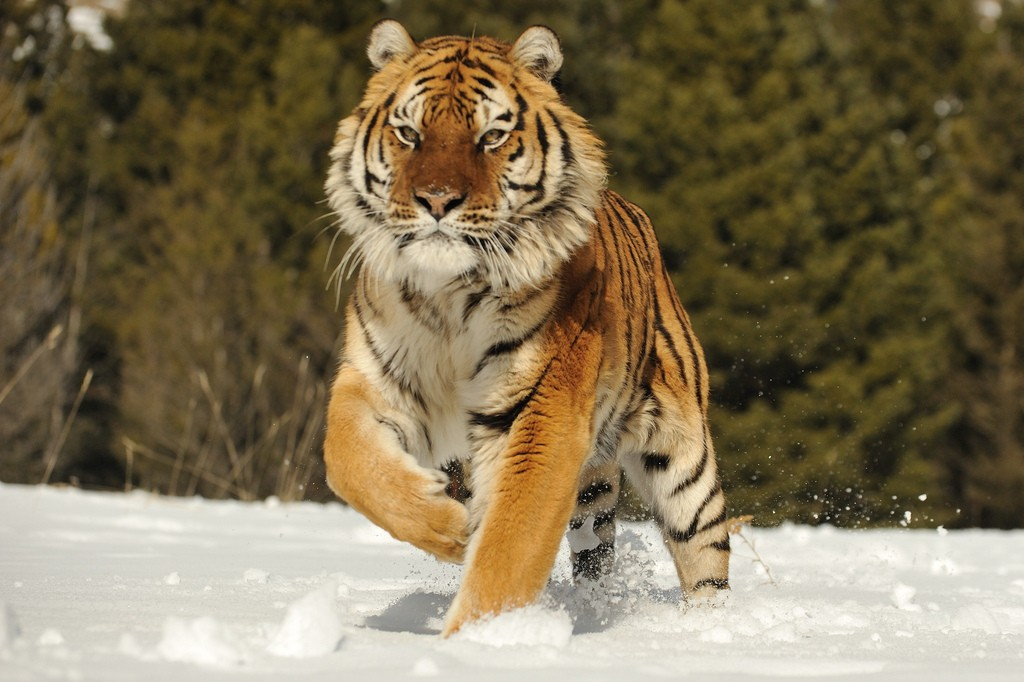 tigr hunt15