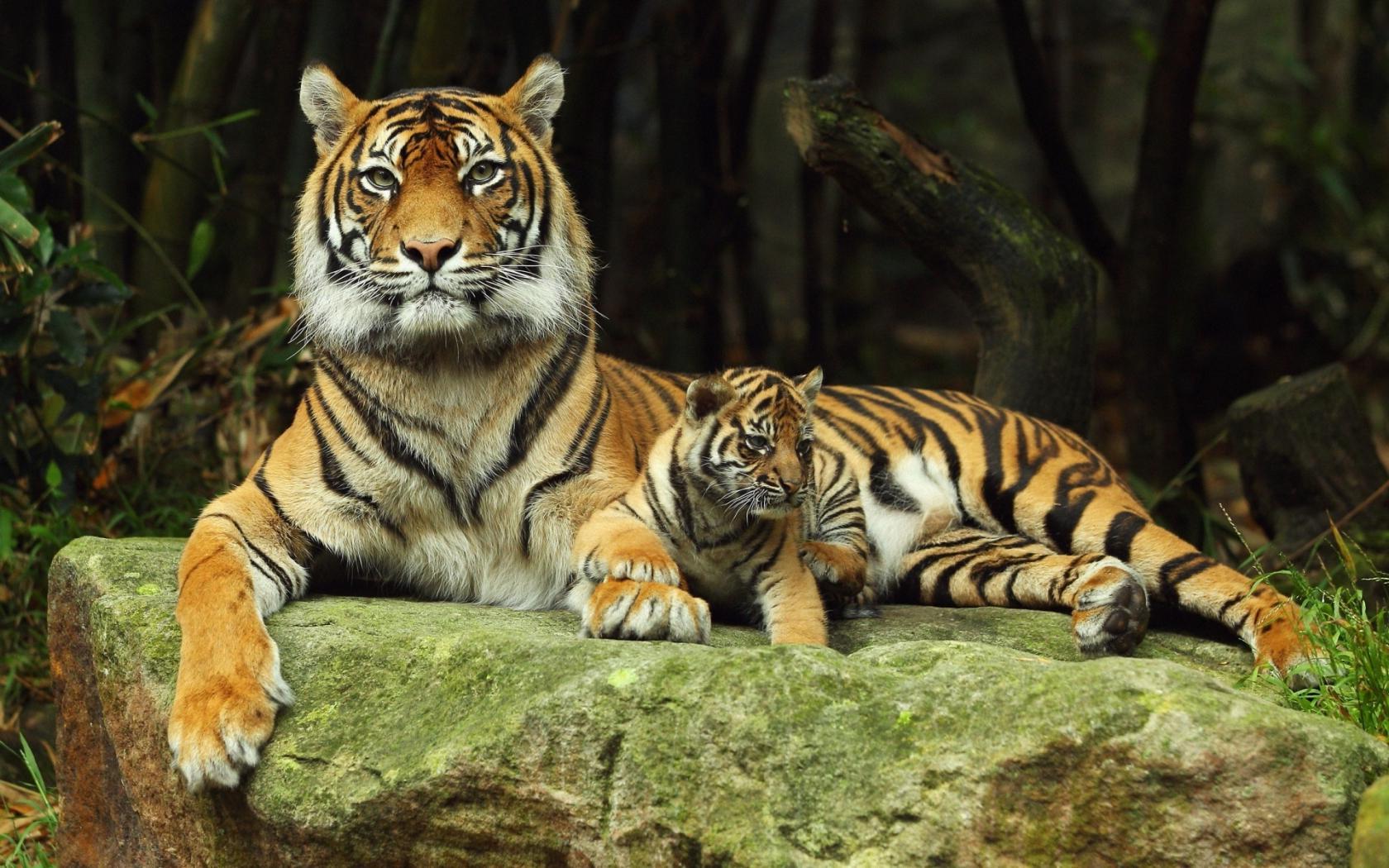tigr hunt16