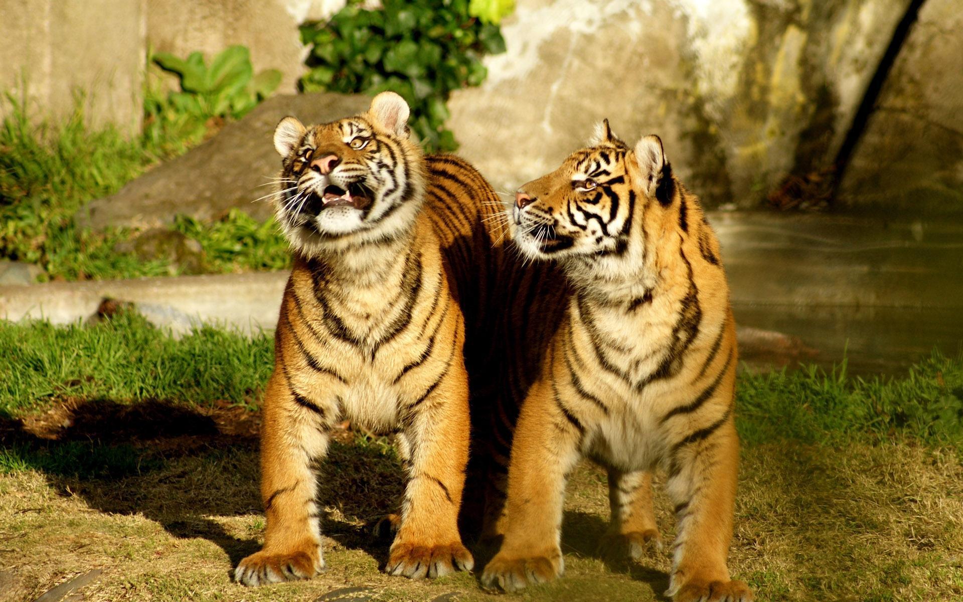 tigr hunt17