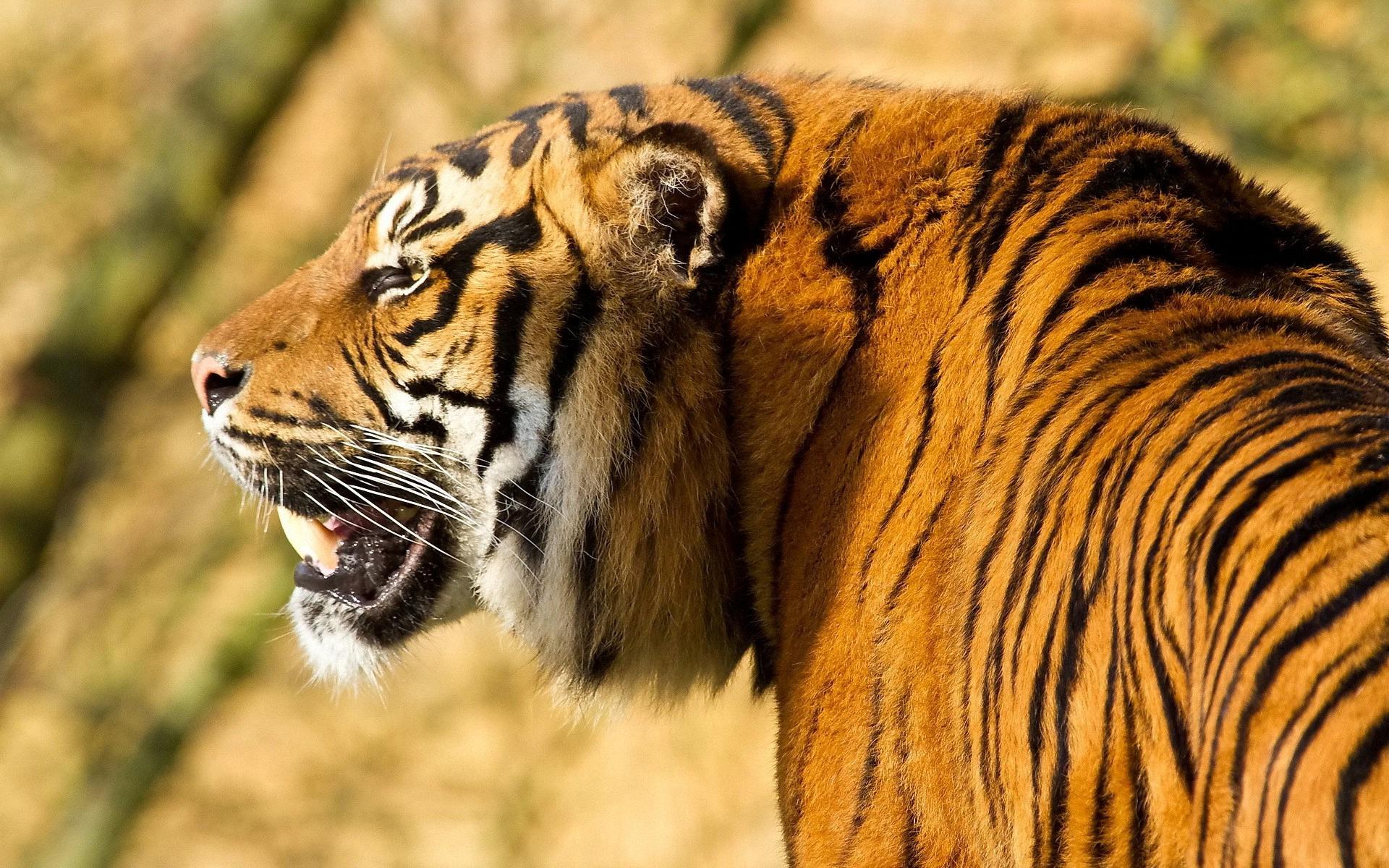 tigr hunt18