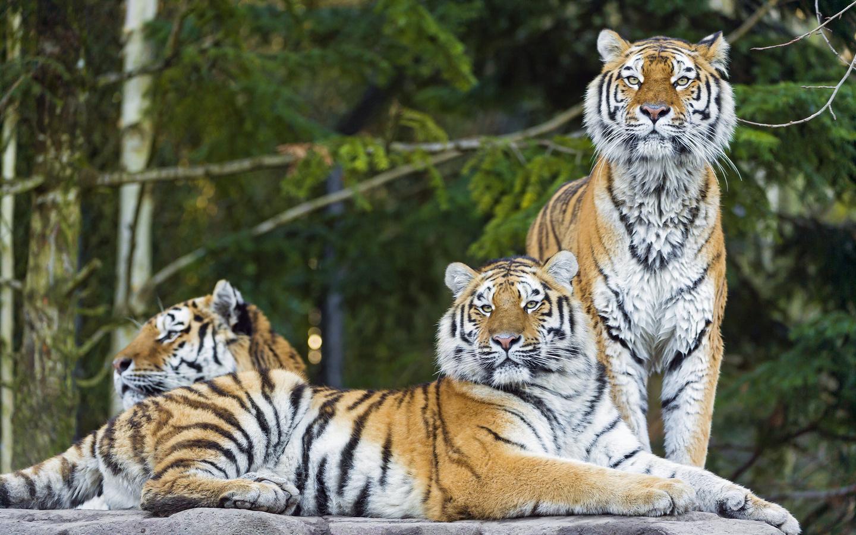 tigr hunt2