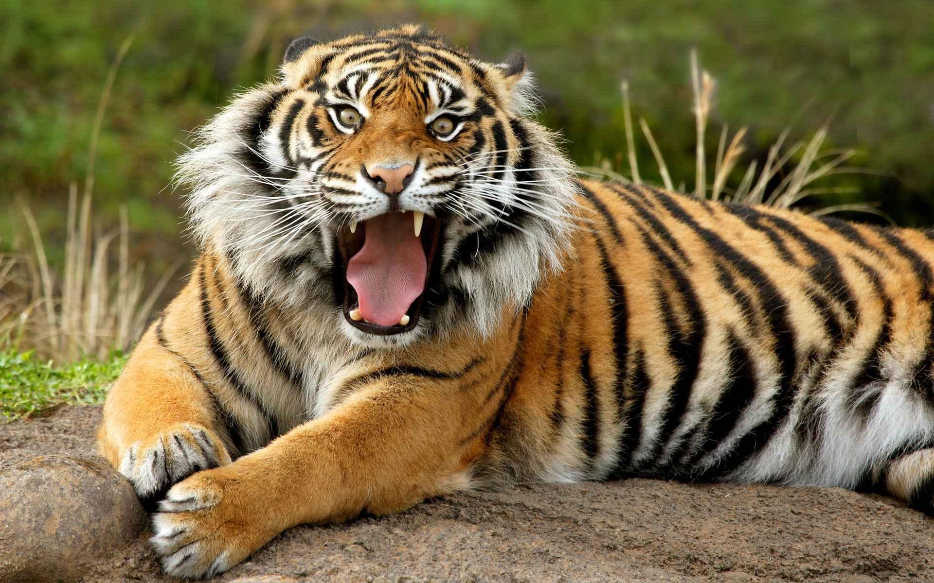 tigr hunt22
