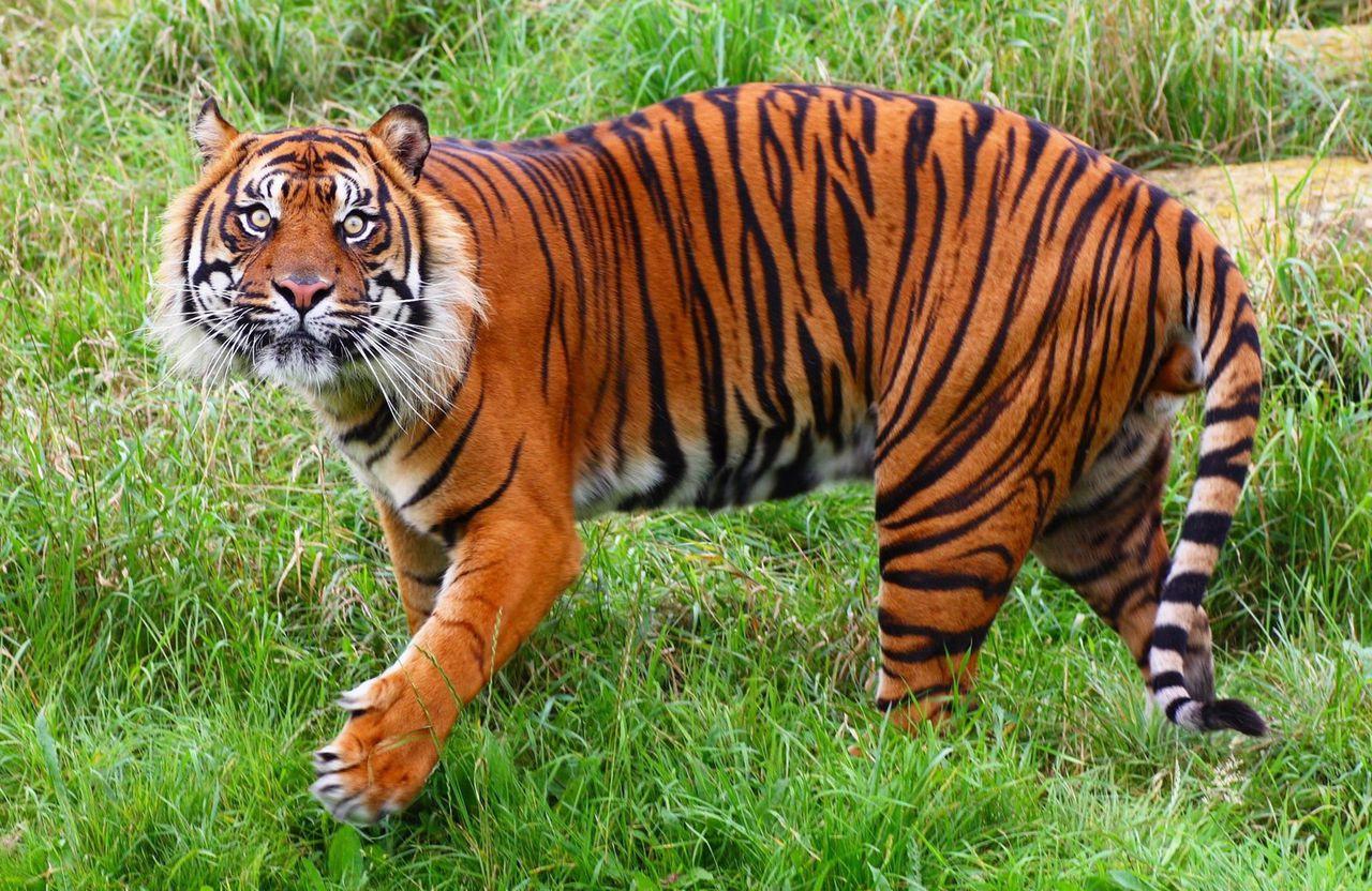 tigr hunt3