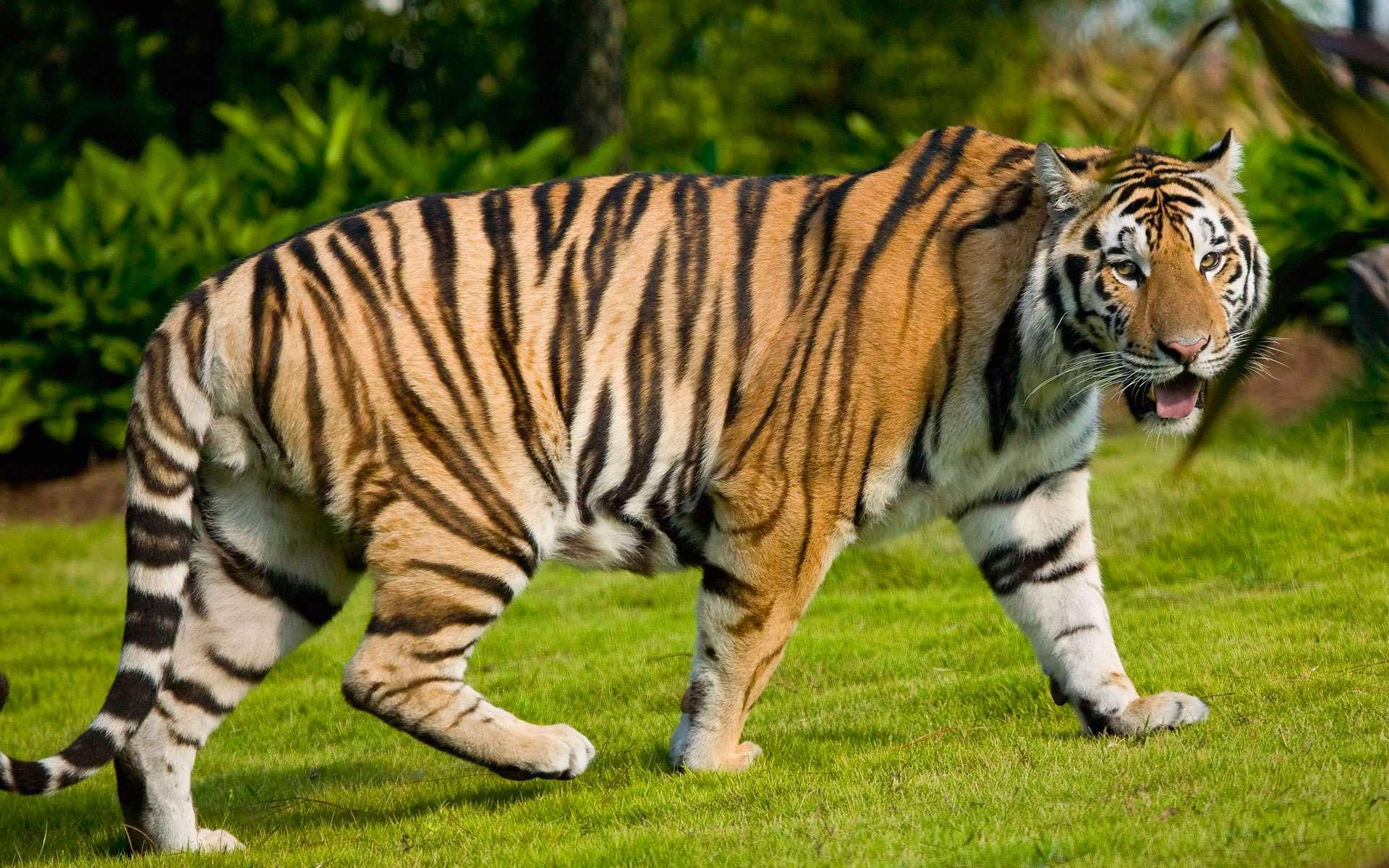 tigr hunt4